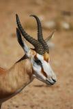 прыгун marsupialis antidorcas Стоковое Фото