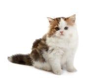 прямая котенка шотландская стоковые изображения
