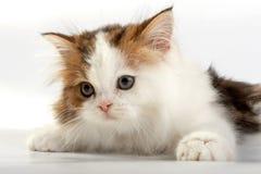 прямая котенка шотландская стоковое фото