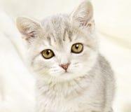 Прямая котенка шотландская Стоковые Фото