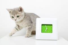 Прямая котенка шотландская Стоковое Изображение