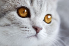 Прямая котенка шотландская Стоковая Фотография