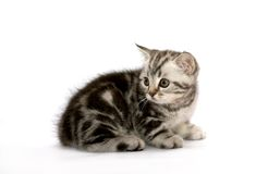 прямая котов шотландская Стоковое Фото