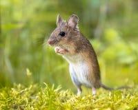 Прямая стоящая деревянная мышь в зеленых окрестностях Стоковое Изображение