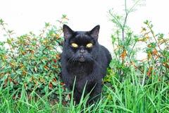 Прямая черного кота шотландская, сидящ в траве стоковые фото