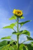 Прямой солнцецвет (annuus подсолнечника) Стоковое Изображение RF