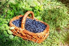 Прямоугольная корзина с одичалыми голубиками ягод стоит на зеленом цвете Стоковая Фотография RF