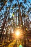 Прямые высокие сосны в заходящем солнце Стоковое Изображение