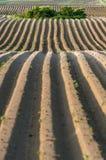 Прямые линии картошки грязи с кустами Стоковые Фото
