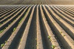 Прямые линии картошки грязи стоковые фотографии rf
