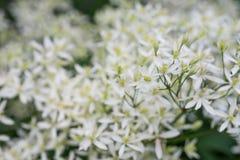 Прямые кишки Clematis, прямой clematis или цветки virginsbower земли белые стоковая фотография rf