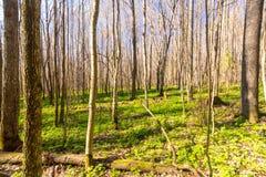 Прямые линии деревьев в лесе Стоковые Фотографии RF