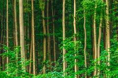 Прямые стволы дерева Стоковое Фото