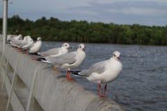 Прямые чайки Стоковое Фото