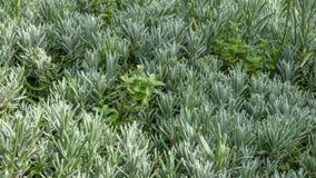 Пряное розмариновое масло травы душистое Стоковые Изображения