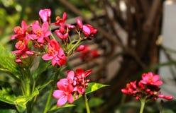 Пряные цветки ятрофы с предпосылкой сада стоковые изображения rf