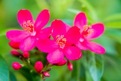 Пряный цветок ятрофы, Peregrina, пряная ятрофа стоковое фото rf