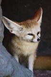 прятать лисицы fennec подземелья Стоковые Фотографии RF