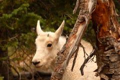 Прятать малыша козочки горы Стоковая Фотография