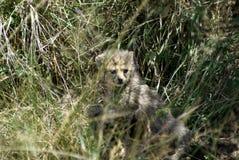 Прятать Hepard младенца Стоковое Фото