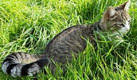Пряча кот Tabby Стоковая Фотография RF