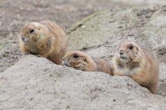 3 пряча собаки прерии (род Cynomys) Стоковое Фото