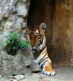 пряча тигр Стоковое Изображение