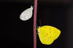 Психики и общие бабочки желтого цвета травы стоковое изображение