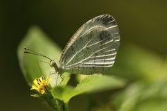 Психики, sp Lieptosia, белянка, около Gurjee, Tripura стоковое изображение