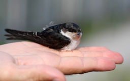 Пташка ласточки Стоковые Изображения
