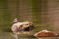 пташка Стоковое Фото
