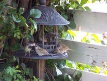 Пташки воробья отца подавая Стоковая Фотография RF