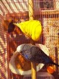 Пташки Budgie стоковые изображения