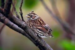 Птенеец певчей птицы осоки, schoenobaenus настоящей камышевки Стоковая Фотография RF