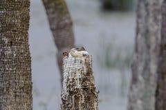 Птенецы американской змеешейки в пне дерева Стоковая Фотография RF