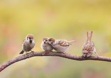 Птенецы, и родитель воробья сидя на ветви меньшие клювы разинув рот Стоковое Фото