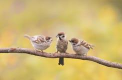 Птенецы, и родитель воробья сидя на ветви меньшие клювы разинув рот Стоковая Фотография RF