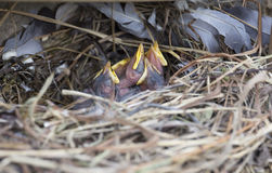 Птенецы спать starling в гнезде Стоковая Фотография