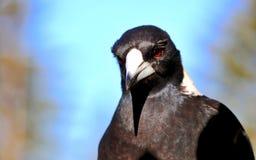 Птица австралийской сороки крупного плана профиля выстрела в голову и верхнего тела Стоковое Изображение RF