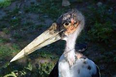 Птица адъютанта Стоковая Фотография
