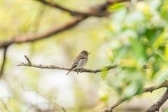 Птица (азиатская коричневая мухоловка) в природе одичалой Стоковое фото RF
