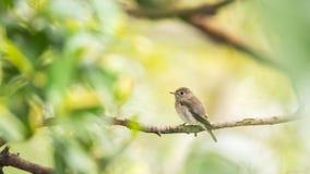 Птица (азиатская коричневая мухоловка) в природе одичалой Стоковые Фотографии RF