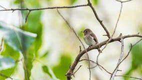Птица (азиатская коричневая мухоловка) в природе одичалой Стоковая Фотография
