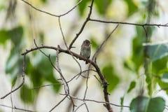 Птица (азиатская коричневая мухоловка) в природе одичалой Стоковые Изображения RF