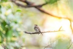 Птица (азиатская коричневая мухоловка) в природе одичалой Стоковая Фотография RF