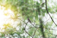 Птица (азиатская коричневая мухоловка) в природе одичалой Стоковое Изображение