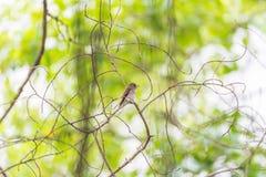 Птица (азиатская коричневая мухоловка) в природе одичалой Стоковое Фото