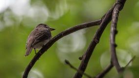 Птица (азиатская коричневая мухоловка) на дереве Стоковое Изображение RF