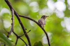 Птица (азиатская коричневая мухоловка) на дереве Стоковые Изображения