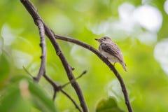 Птица (азиатская коричневая мухоловка) на дереве Стоковое фото RF